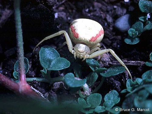 Epow Ecology Picture Of The Week Crab Spider