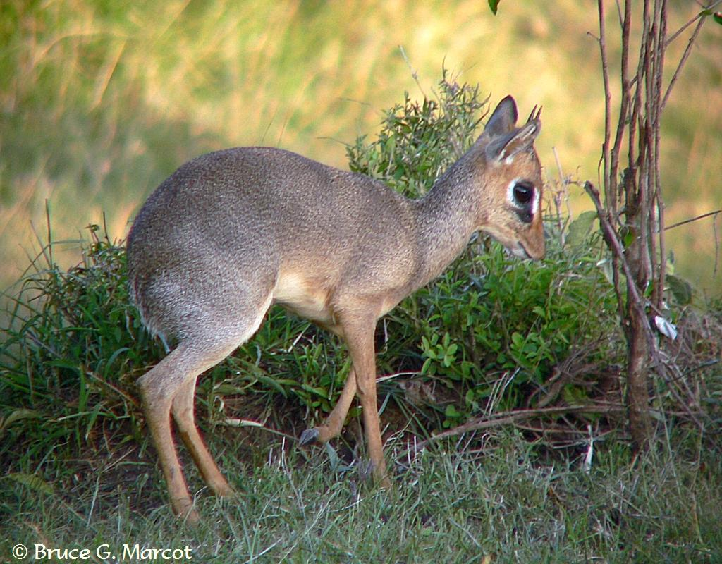 Tiny Antelope Of The African Bush