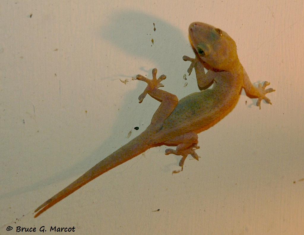 hidden colors of the gecko